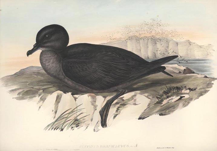 Victorias Riflebird   Victorias Riflebird (male